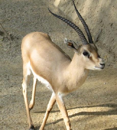 animais-gazela-73715c