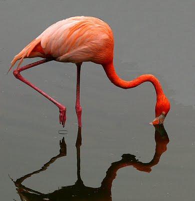 Fauna-aves-Flamingos 67