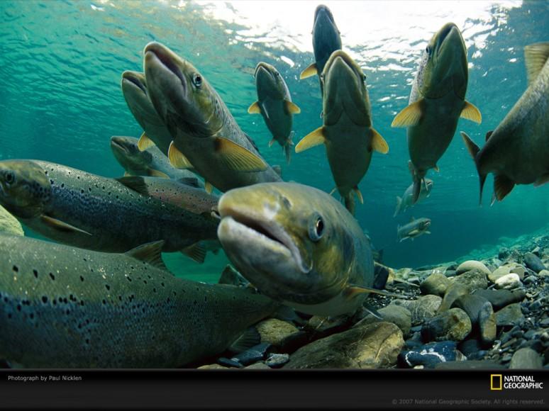 spawning-atlantic-salmon-738342-lw