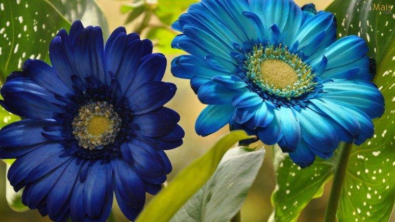 flores-gerberas-azuis-wallpaper