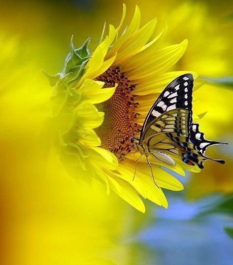 O-GIrassol-e-a-borboleta-capa
