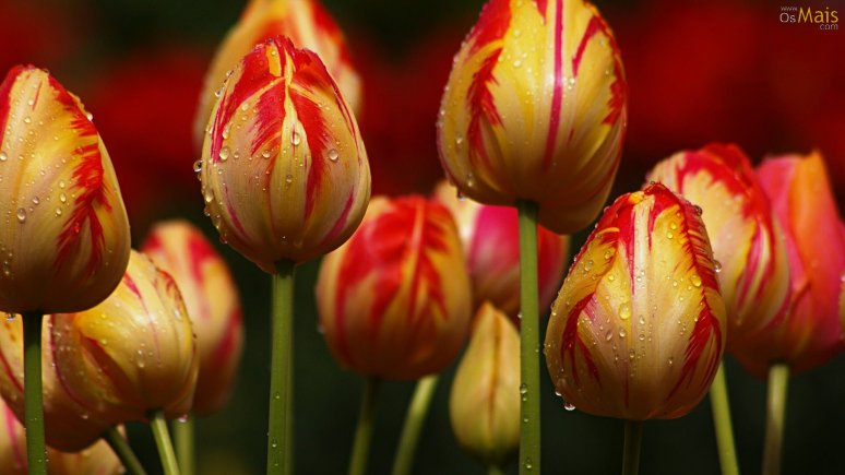 tulipas-deslumbrantes-wallpaper